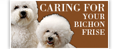 Caring for your Bichon Frise